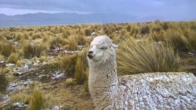 A estos animales ya no les afecta ni el frío ni la nieve